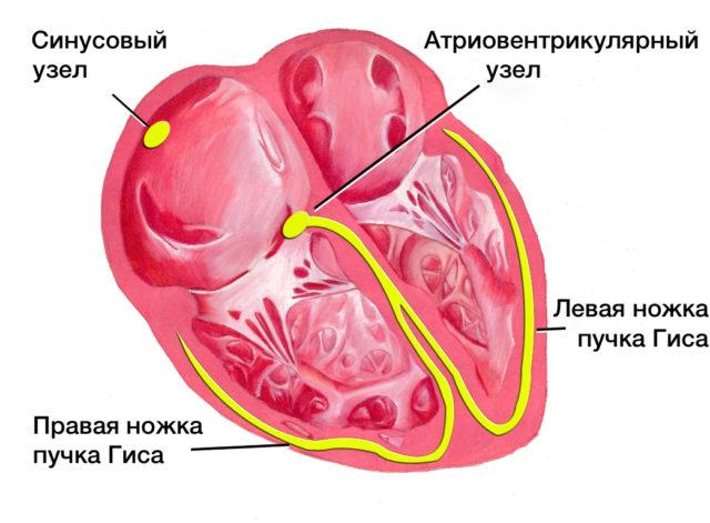 Выраженная синусовая аритмия у ребенка — Сердце